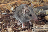 White-footed Dunnart 9973.jpg