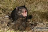 Tasmanian Devil 0118.jpg