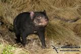 Tasmanian Devil 0123.jpg