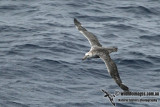 Northern Giant-Petrel a1215.jpg
