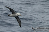 Northern Giant-Petrel a1217.jpg