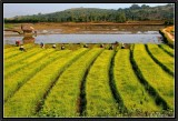 Working in the Rice Fields. Kentung Province.