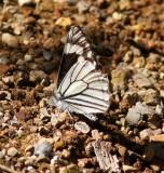 Chirachua Pine White-Male