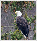 Eagle in'a Spruce Tree