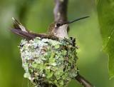 Ruby-throat on nest