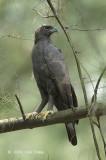 Eagle, Changeable (dark morph) @ Seletar