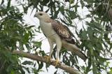 Eagle, Changeable Hawk (juvenile pale morph) @ Changi