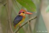 Kingfisher, Black-backed @ Bidadari