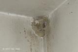 Swiftlet, Edible-Nest (nest)