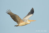 Pelican, Spot-billed @ Prek Toal