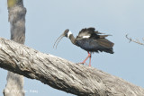 Ibis, White-shouldered @ Tmatboey