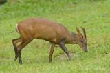 Muntjac, Red (male) @ HQ
