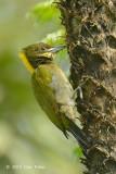 Yellownape, Greater (male) @ Telecom Loop