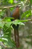 Malkoha, Chestnut-breasted (male) @ Tahan Hide