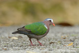 Dove, Emerald (male) @ Telecom Loop
