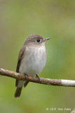 Flycatcher, Asian Brown