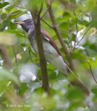 Flycatcher, Japanese Paradise (female) @ Bidadari