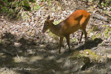 Muntjac, Red (female) @ Yong Hide