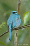 Flycatcher, Verditer (male) @ Jelai Resort