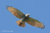 Buzzard, Rufous-winged