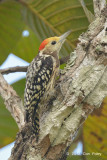Woodpecker, Yellow-crowned (male) @ Tmatboey