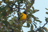 Oriole, Black-hooded @ Tmatboey