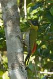 Woodpecker, Black-headed @ Tmatboey