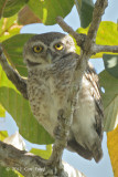 Owlet, Spotted @ Tmatboey