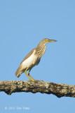 Heron, Chinese Pond @ Tmatboey