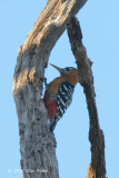 Woodpecker, Rufous-bellied @ Tmatboey