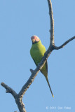 Parakeet, Blossom-headed (male) @ Tmatboey