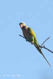Parakeet, Red-breasted (male) @ Tmatboey