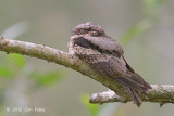 Nightjar, Large-tailed @ Changi