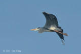 Heron, Grey @ Tonle Sap