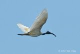 Ibis, Black-headed @ Tonle Sap