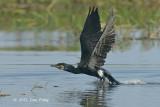 Cormorant, Great @ Tonle Sap
