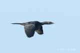 Cormorant, Little