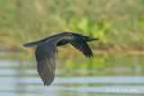 Cormorant, Indian
