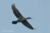 Cormorant, Indian (breeding) @ Tonle Sap