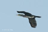 Cormorant, Indian (juvenile) @ Tonle Sap