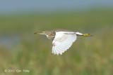 Heron, Chinese Pond @ Tonle Sap