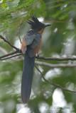 Cuckoo, Chestnut-winged @ Bidadari