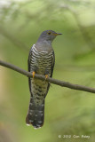 Cuckoo, Oriental (adult female) @ Bidadari