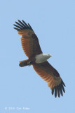 Kite, Brahminy @ Bidadari