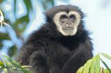 Gibbon, White-handed @ Kaeng Krachan