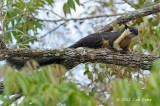 Squirrel, Black Giant @ Khao Yai