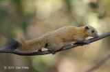 Squirrel, Grey-bellied @ Kaeng Krachan