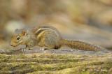 Squirrel, Indochinese Ground @ Kaeng Krachan