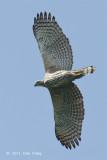 Eagle, Changeable Hawk (pale morph) @ Changi