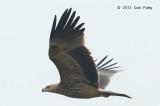 Eagle, Eastern Imperial (juv) @ Batang Tiga